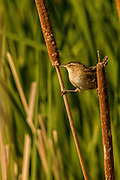 Marsh Wren doing the split