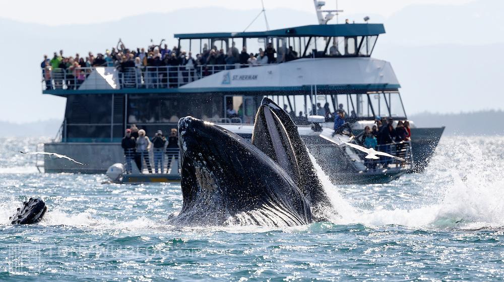 Humpback whale (Megaptera novaeangliae) engaged in bubble net feeding near a tourist vessel in Alaska.