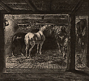 Pit ponies in their underground stable in a coal mine.  The ponies were used to haul wagons along the rails in the mine workings. Britain.  From 'Underground Life; or, Mines and Miners' by Louis Simonin (London, 1869). Wood engraving.