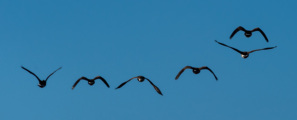 Geese take flight at the Terrapin Nature Park on the Eastern Shore of Maryland.