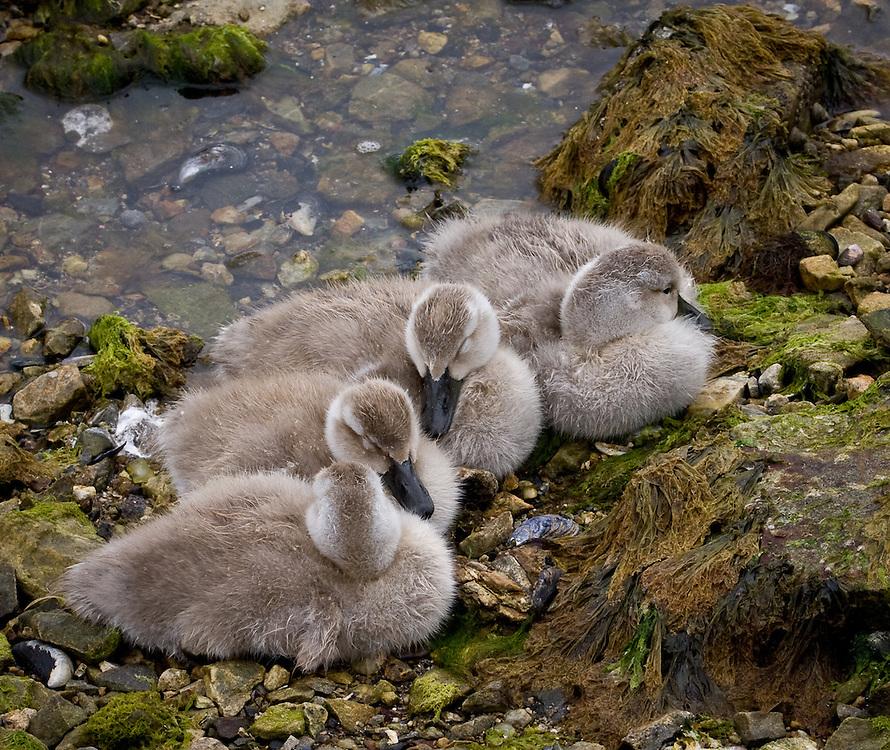 Tachyeres pteneres, juveniles, Falklands