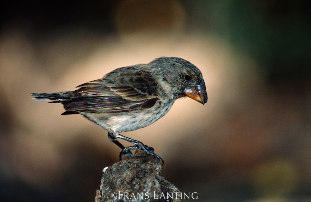 Medium ground finch, Geospiza fortis, Galapagos Islands