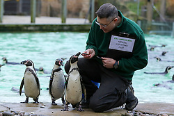 © Licensed to London News Pictures. 02/01/2020. London, UK. A London Zoo keeper feeds Penguins during the annual stocktake at London Zoo. London Zoo undertakes its annual stocktaking which is carried out at the the start of each year. Every animal in London Zoo is weighed and measured and the statistics is shared with other Zoos across the world. Photo credit: Dinendra Haria/LNP
