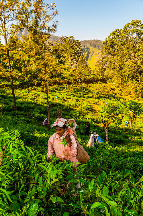 Women picking tea, Ambagollapathana, near Ella, Uva Province, Sri Lanka.