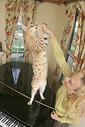 World's Tallest Cat<br /> <br /> Rancho Cucamonga, California, USA - Scarlett's Magic is the world tallest cat. According to the Guinness Book of World Records, the 2-year-old Savannah cat measures 18.1 inches from shoulder to toe and 42.7 inches from nose to tail. Scarlett's Magic lives with the Draper family, Kim, Lee  and their children, Martin, 12, and Matteo, 9, in Rancho Cucamonga, Cailfornia. PICTURED: Matteo Draper plays with Scarlett's Magic, the world's tallest cat.<br /> (Credit Image: © SavannahCatShoppe/Exclusivepix)