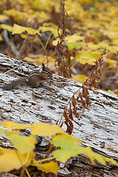 """Chipmunk in the Fall 1"" - Photograph of a chipmunk on a log, surrounded by yellow thimbleberry leaves."