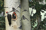 Pileated woodpecker (Dryocopus pileatus) with young in nest in mature trembling aspen tree (Populus tremuloides). <br />Banff National Park<br />Alberta<br />Canada