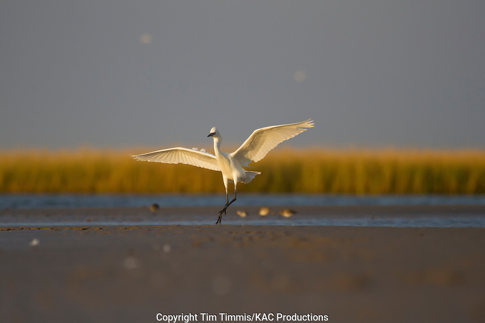 Reddish Egret, white morph, Egretta rufescens, Bolivar Flats, Texas gulf coast, landing with raised wings in golden light
