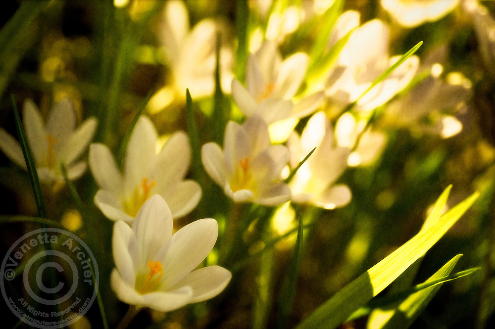 A cluster of crocuses bloom under the warming rays of the sun.