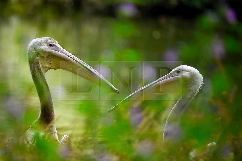 © Licensed to London News Pictures. 16/07/2019. LONDON, UK.  The two males of the three new great white pelicans (Pelecanus onocrotalus) arrive for their first public feeding.  The pelicans have just have been released in St James's Park.  A gift from Prague Zoo arriving at the end of May, the new pelicans have been kept hidden from public view while they settled in to their new surroundings.  The two males, Sun and Moon, and a female named Star, were hatched in February, and join a colony of three in the park.  Photo credit: Stephen Chung/LNP
