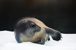 Bearded seal (Erignathus barbatus) in Svalbard
