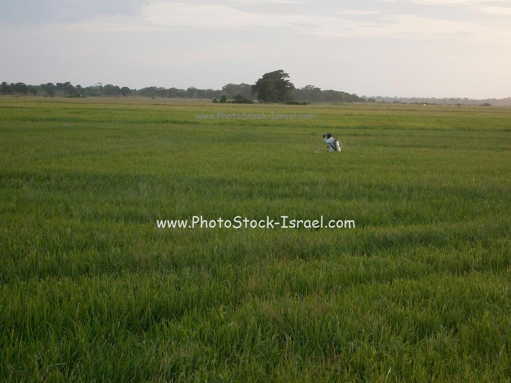 Sri Lanka, Ampara District, Pottuvil Rice fields Farmer applies insecticide