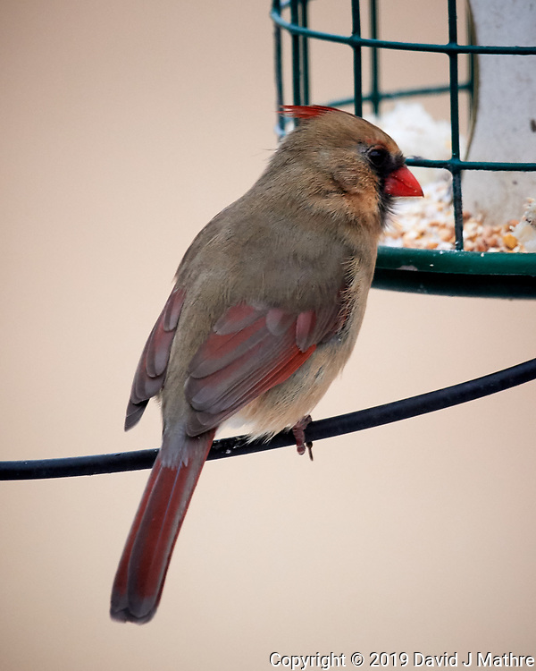 Northern Cardinal. Image taken with a Nikon D5 camera and 600 mm f/4 VR lens (ISO 3200, 600 mm, f/5.6, 1/160 sec).