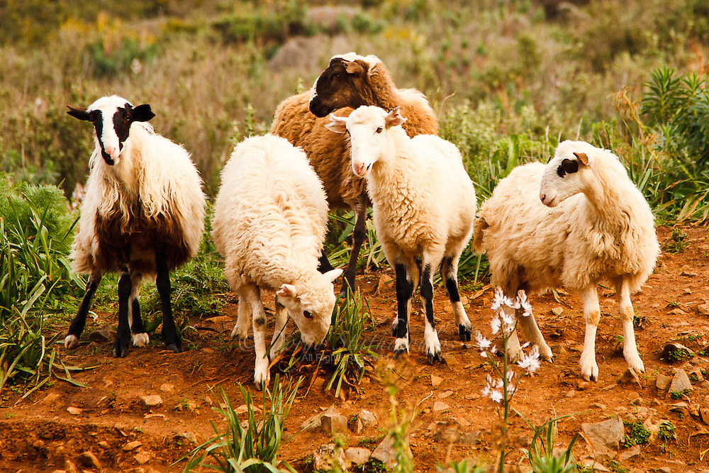 Sheep grazing in the mountains of Lassithi, Crete.