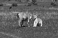 Lioness teaches her cub to react to other predators charge. The cub stays alert and muscles get tense when the mother charges into him, ready to leap backward or scape to the sides, he learns a valuable lesson that whe will need when he find himself corned by other lions or by scavengers trying to steal his prey.