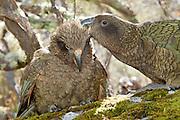 Kea, adult preening juvenile, New Zealand