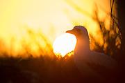 Nazca Booby i solnedgang, Genovesa Island, Galapagos | Nazcasule i solnedgang