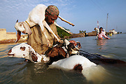 Men attempt to cross the flooded village of Sultan Kot with their livestock, in Sindh Province, Pakistan.