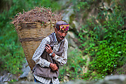 A local Kullu man wearing a traditional Himachali cap carrying pine needles in a basket at Kasol.