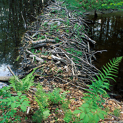 A beaver dam in Woodman Brook, a tributary of the Lamprey River.  Durham, NH