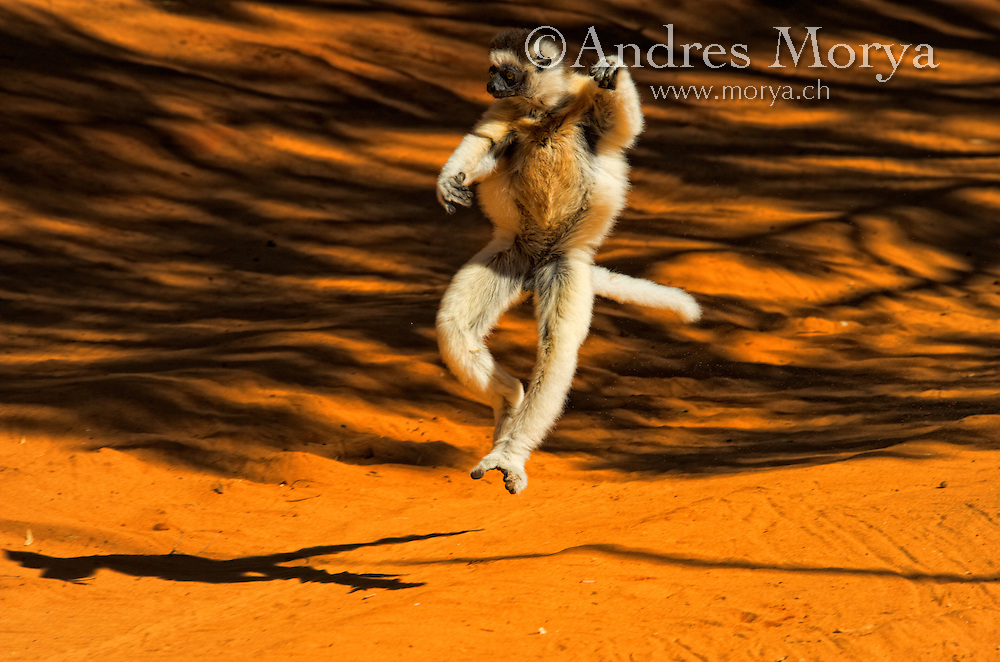 Verreaux's sifaka hopping, Propithecus verreauxi, Berenty Reserve, Madagascar Verreaux's Sifaka (Propithecus verreauxi), adult jumping, Berenty Private Reserve, Madagascar. Image by Andres Morya<br /> <br /> The sifakas are relatively large lemurs that are diurnal, or active during the day. These lemurs are called sifakas because of the sound of their distinct &ldquo;si-fak!&rdquo; call. They have extremely long legs and their favorite position to &ldquo;hang out&rdquo; in is vertical, clinging to tree trunks. Those same long legs help them leap powerfully from tree to tree, sometimes resembling a basketball player at the apex of a rim-rattling slam-dunk. But on the ground sifakas are equally captivating, bounding along in a comical sideways dance with arms flailing overhead for balance.