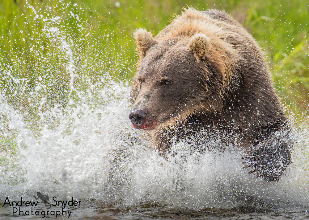 A brown bear (Ursus arctos) chases after a salmon - Katmai, Alaska