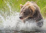 A brown bear (Ursus arctos) chases after a salmon - Katmai, Alaska