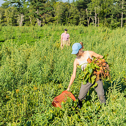 A woman harvests beets on a farm on Kinney Hill in South Hampton, New Hampshire.