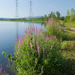 Purple loosestrife grows on the banks of the Connecticut River in  Hinsdale, New Hampshire.  Power lines carry electricty from the Vermont Yankee Nuclear Power Plant across the river in Vernon, Vermont.