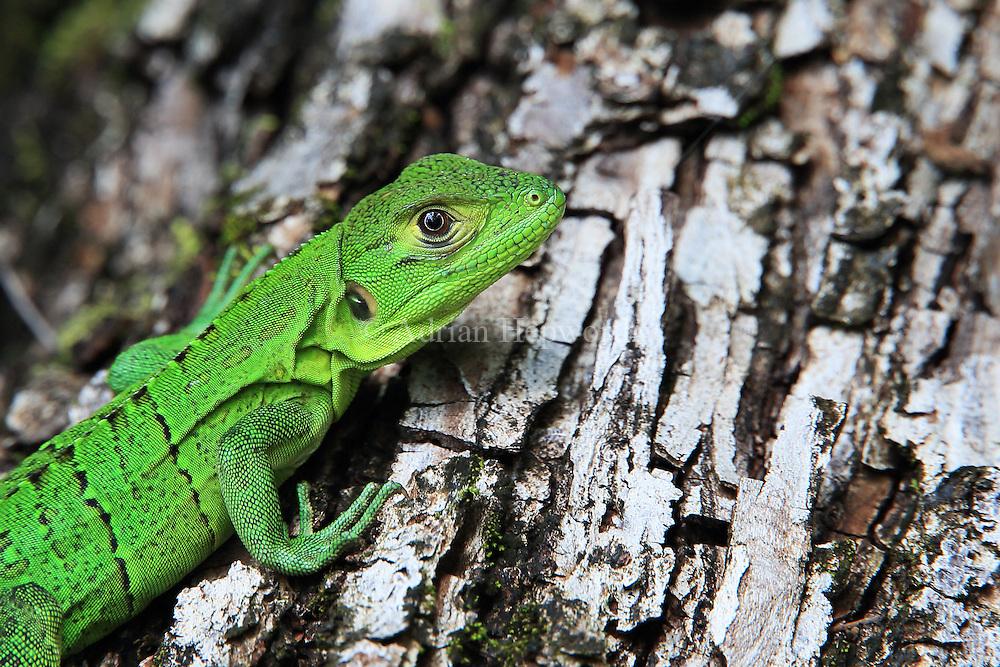 Juvenile black spiny-tailed iguana (Ctenosaura similis). Santa Rosa National Park, Guanacaste, Costa Rica.