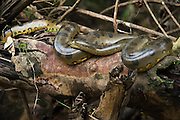 Common Anaconda (Eunectes murinus)<br /> Tiputini River, Yasuni National Park, Amazon Rainforest<br /> ECUADOR. South America<br /> HABITAT & RANGE: Forests east of the Andes in Colombia, Venezuela, the Guianas, Ecuador, Peru, Bolivia, Brazil and on the island of Trinidad.