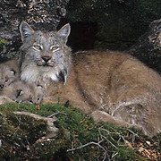 Canada Lynx, (Lynx canadensis) Montana. Adult with young. Spring. Captive Animal.