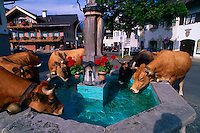 Cows drinking from a fountain, Garmisch-Partenkirchen, Bavaria, Germany