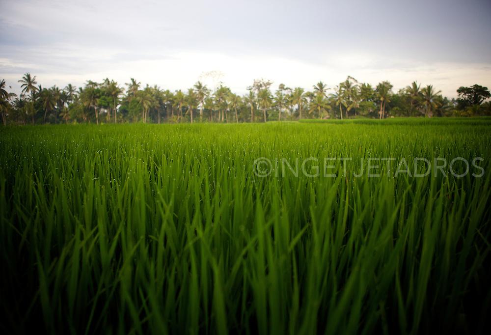 Rice fields in Ubud. &copy;Ingetje Tadros<br /> www.ingetjetadros.com