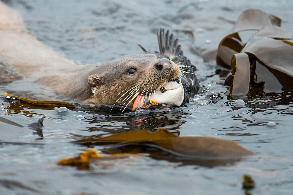 Otter coming ashore with a puffin.
