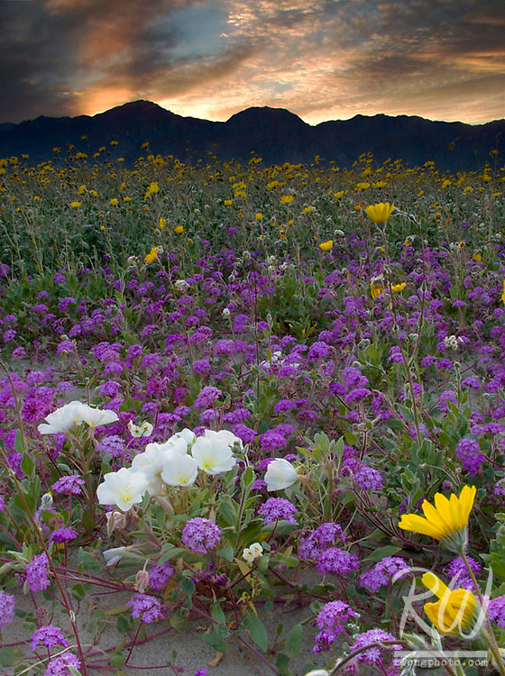 Spring Wildflowers at Sunset, Anza Borrego Desert State Park, California
