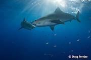 tiger sharks, Galeocerdo cuvier, and opelu or mackerel scad, Decapterus macarellus, North Shore, Oahu, Hawaii, USA ( Central Pacific Ocean )