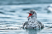 The Black Guillemot or Tystie, Cepphus grylle, is a medium-sized alcid at 32-38 cm in length, and with a 49-58 cm wingspan. These birds often overwinter in their breeding areas, moving to open waters if necessary, but usually not migrating very far south.
