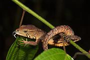 Somber Stream Lizard; Galenesaurus cochranae; on sleeping twig; Ecuador, Prov. Napo; Narupa area