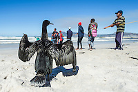 Cape Cormorant drying its wings next to a trek net catch, Strandfontein, False Bay, Western Cape, South Africa
