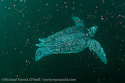 A female Leatherback Sea Turtle, Dermochelys coriacea, swims offshore Grand Riviere, Trinidad, prior to nesting.