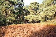 Heathland vegetation, Sutton Heath, Sandlings, Suffolk, England