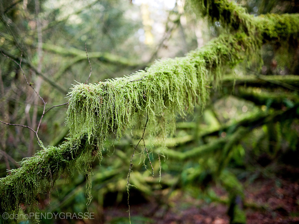 A mossy branch in pacific spirit park, Vancouver, BC.