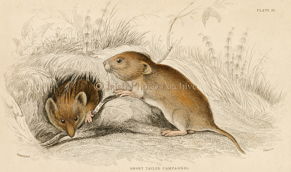 'Red or Meadow Vole - Microtus argrestis: mouse-like short tailed rodent.  Hand-coloured engraving from ''A History of British Quadrupeds'', Edinburgh, 1838.'