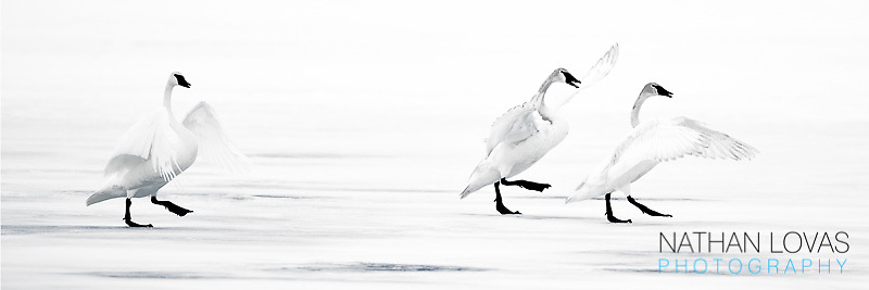 Trumpeter Swans on ice territorial behavior;  Perham MInnesota.
