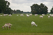 goats grazing Holland
