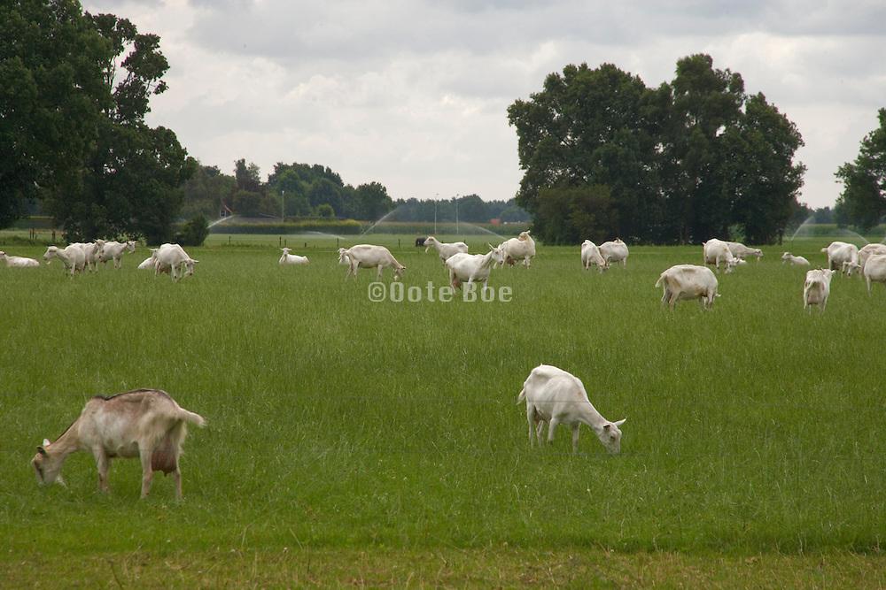 goats grazing Holland