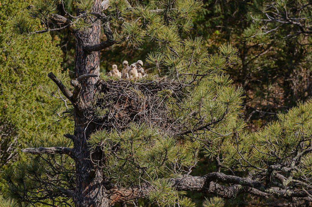 Red-tailed Hawk [Buteo jamaicensis] nestlings resting in nest while waiting for their next meal; Raton Pass, Colorado