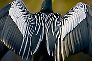 Anhinga snakebird darter, Anhinga anhinga, air drying feathers in the Everglades, Florida, United States of America