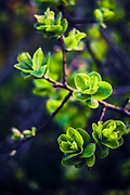 New green leaves of a tree